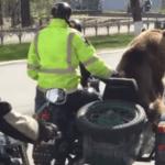 Смотрите как перевозят медведя на мотоцикле